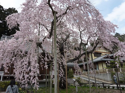 iwashidarezakura