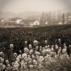 DSC01249_RESIZE (MiaoVision) Tags: china flowers bw zeiss sony country hangzhou jiangnan a700 1680za