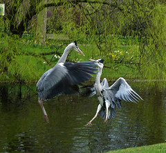 heron dance or fight (coxy2001) Tags: panasonic specanimal dmcfz28 mygearandme mygearandmepremium mygearandmebronze mygearandmesilver mygearandmegold