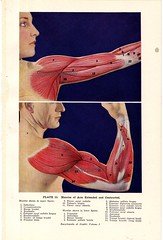 Arm Muscles Flexed and Extended Human Anatomy 1933 (SurrendrDorothy) Tags: old woman chart man male art halloween lady female illustration vintage print dayofthedead weird thirties 1930s women body drawing muscle antique feminine maine science creepy ephemera medical human doctor diagram anatomy medicine etsy decor healing homedecor 30s lithograph physiology humananatomy artfire anatomical dadelosmuertos musculature homegoods surrenderdorothy healingarts raymondmaine zibbet