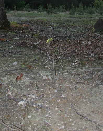 This baby pawpaw tree, about a foot tall, is a straight stick crowned with a little clump of longish, floppy green leaves.  It looks like the tree equivalent of a muppet.