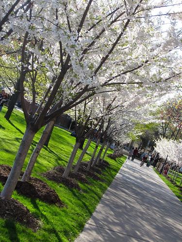 Sakura avenue