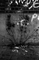Flower graffiti (richard314159) Tags: blackandwhite film canon kodak photograph 135 40mm coventry canonet ql17 giii xtol f17 adox ortho25 richard314159 bfm0410 20100415acanonetbfm0410bog