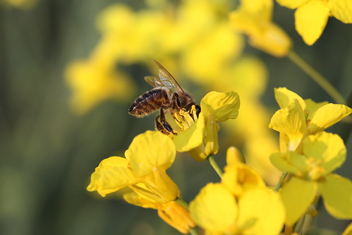 abeille sur fleur de colza
