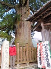 Les gros arbres japonais !
