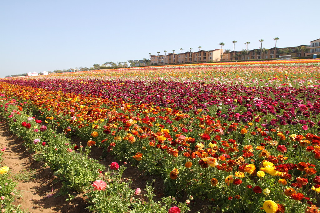 The Flower Fields, Carlsbad, CA