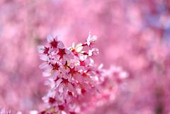 Cherry blossom (GRVPhotography) Tags: new newyork flower nature colors interesting nikon bokeh cherryblossom rv grv indianphotographer d3000 vishnuvardhan nikond3000 vishnuramakrishnan grv1981 grvphotography