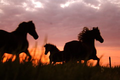 Untamed (The Family Dog) Tags: red wild horses black ameland untamed anawesomeshot