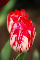 swirled (kmrphotography) Tags: red two white flower nature colors oregon outdoors spring tulips farm blossoms tulip april blooms 2010 woodburn woodenshoetulipfestival 20100416035
