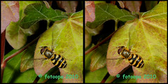 fotoopa 20100421_0795 Bosbandzweefvlieg - Syrphus torvus (fotoopa) Tags: macro insect mirror inflight stereoscopic stereophotography 3d crosseye crosseyed insects stereo thuis highspeed threedimensional zweefvlieg crossview flyingobjects 3dmacro highspeedmacro syrphustorvus stereodatamaker fotoopa frontmirror dslrstereo frontsidemirror 3dinsects 3dinflight diylaser bosbandzweefvlieg crosseyedphotography