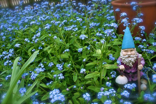 Gnome in a sea of forget-me-nots