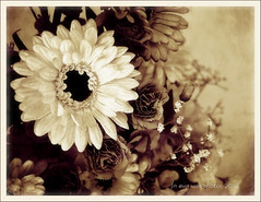 (in eva vae) Tags: flowers bw stilllife macro art sepia composition daisies photoshop canon eos rebel spring kiss eva creation layer textured monocrome laspezia naturamorta x3 500d eos500d t1i eosrebelt1i inevavae