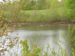 Ducks on the Pond (edenpictures) Tags: nyc newyorkcity ny newyork pond ducks wetlands statenisland naturepreserve mountloretto vernalpond
