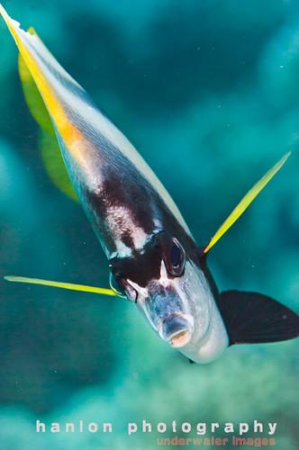 راية البحر الأحمر bannerfish