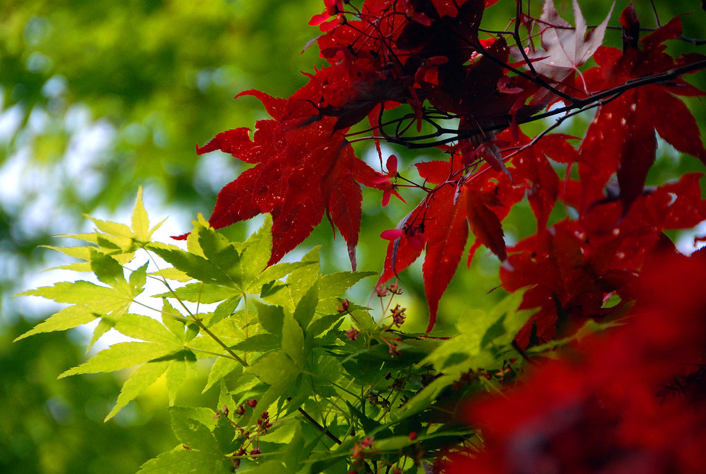 Japanese Maples.