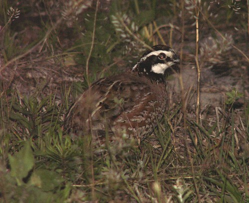 Male Common Bobwhite 3