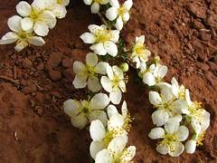 Canyonland flowers-7
