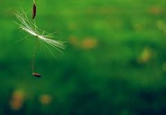 Just barely hanging on (Elizabeth Poage) Tags: spring weeds dandelion hanging allergen