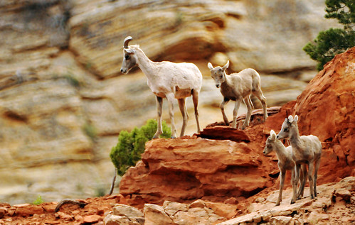 Momma desert bighorn and brood