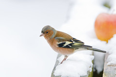 Chaffinch (Fringilla coelebs) Male in the Snow with Apple (Steve Greaves) Tags: wood pink winter food brown white snow cold detail male bird apple nature fruit garden bench wooden feeding bokeh eating snowy wildlife feathers aves cock naturalhistory finch colourful february avian fringillacoelebs chaffinch plumage slategrey commonchaffinch eurasianchaffinch cockbird nikond300 globalbirdtrekkers nikonafsii400mmf28ifedlens