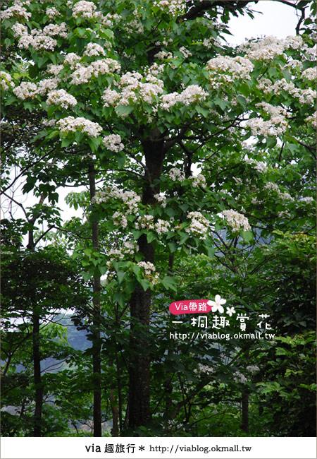 【苗栗油桐花季】苗栗頭屋~夢幻桐花步道9