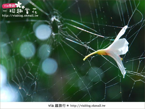 【苗栗油桐花季】苗栗頭屋~夢幻桐花步道17