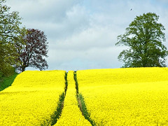 Yellow (algo) Tags: uk blue trees england tree green lines yellow clouds interestingness topf50 topv555 europe searchthebest path vivid topv222 explore fields algo topf100 rapeseed biofuel explore189 pinnaclephotography
