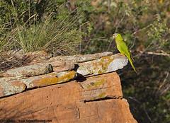 Blue-crowned Parakeet - Aratinga acuticaudata