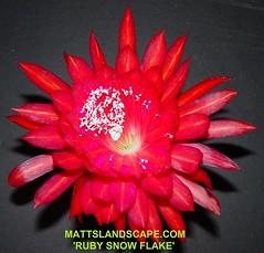 Epiphyllum CV 'RUBY SNOWFLAKE'