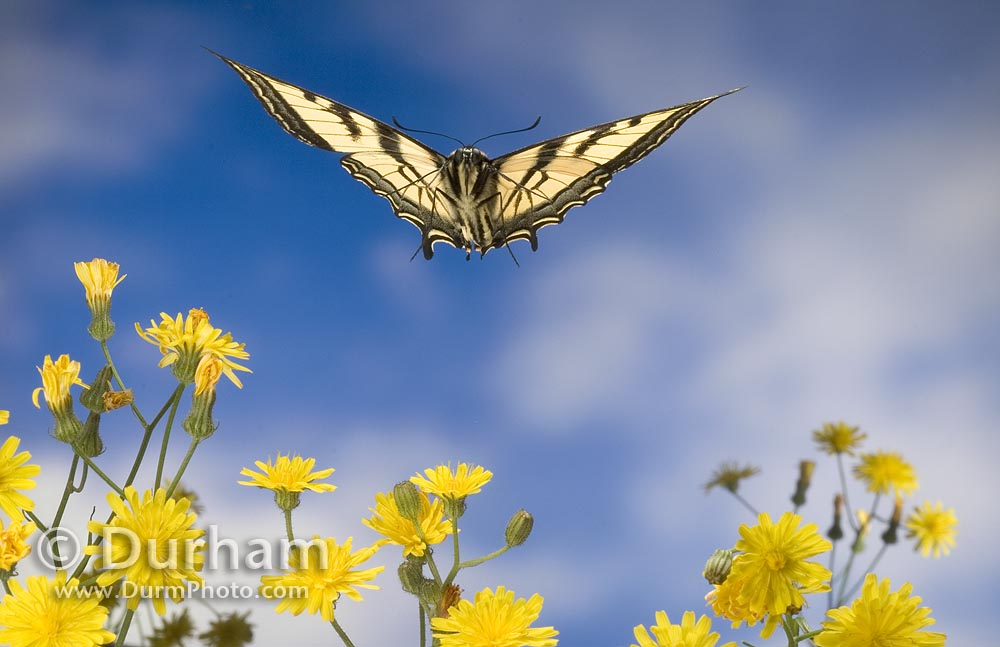 western tiger swallowtail butterfly (Papilio rutulus)