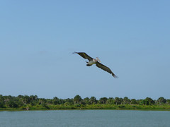 Photo of the Week - An oil-free brown pelican soars over Pelican Island National Wildlife Refuge (FL) (U. S. Fish and Wildlife Service - Northeast Region) Tags: brown fish bird gulfofmexico us florida wildlife conservation pelican clean national oil service restoration bp spill habitat oiled usfws refuge oilspill nationalwildliferefuge pelicanisland fishandwildlifeservice