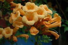 DSC_0235 (Motty Chen) Tags: subjectsflowersandplants