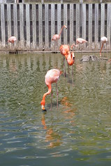 Is thirsty flamingo