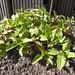 prunella vulgaris / gewone brunel