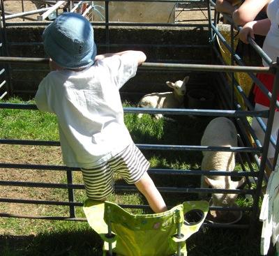 suckling-lambs