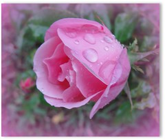 Raining  on the Roses ... (ruthalice43) Tags: flower macro rain rose masterphotos