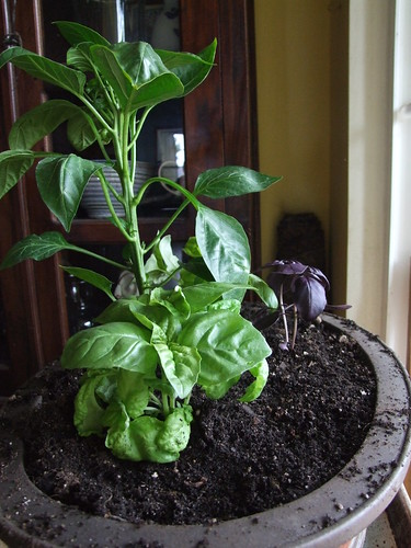 basil and peppers