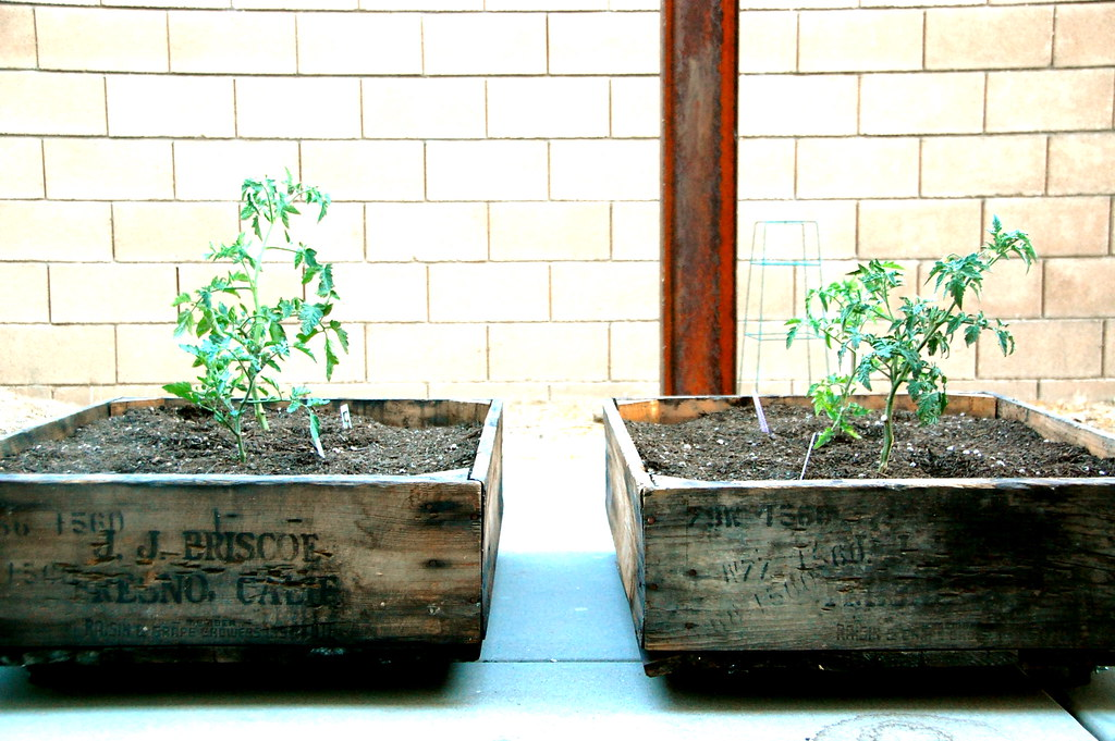 vintage crates and tomato plants