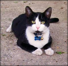 Jack (Simply Viola) Tags: cats felini gatti