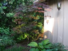 rainbowtree (kitchenerd) Tags: japanesemaple rainbowtree 365photos 3652010 kitchenerd