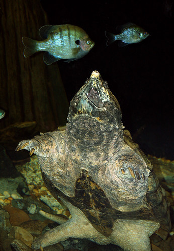 snapping turtle tongue. Huge Alligator Snapping Turtle