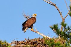 bald eagle nest kane county illinois (thomassylthe) Tags: illinois nikon telephoto kanecounty wingspan eagles baldeagles eaglenest soaringeagle beautifulbird d700 400mmnikkor