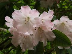 Azalea (doyoubleedlikeme) Tags: pink red sculpture white beautiful garden petals purple plymout acer rhododendron azalea bluebell wisteria bluebellwood lowerpond lukesland lukeland ivybrdige