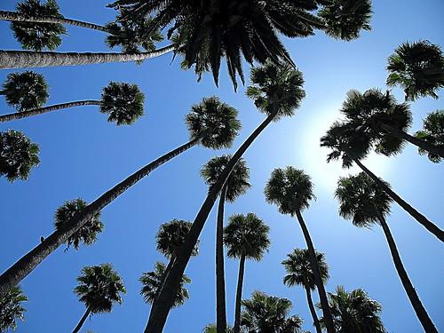 Towering Palms.....................0725pn