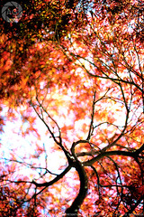 Looking up into a world of oranges and reds; Kamakura, Japan (Alfie | Japanorama) Tags: trees red orange tree nature yellow maple nikon colours kamakura momiji acer photowalk colourful kanagawa kaede straightoutofthecamera sooc d700 nikkor50mmf12ai photowalksintokyo dr3rightangleviewfinder photowalksinjapan customnikonpicturecontrol nikonpicturecontrols downloadnikonpicturecontrols highcontractcolour