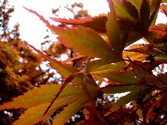 Acer (vilnix) Tags: pink flowers blue trees red wild white house plant fern macro tree green leaves bluebells forest garden leaf petals woods flora cove property dandelion bee honey national acer rhododendron trust garlic azalea coleton fishacre pudcombe