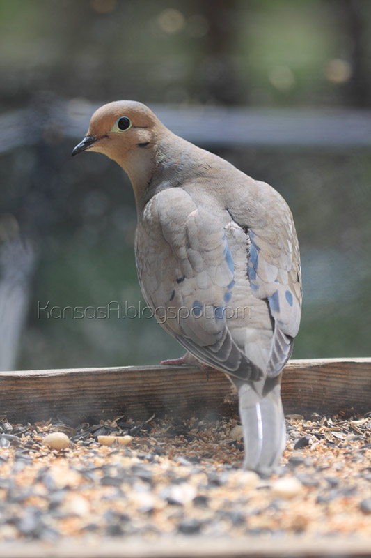 Mourning Dove (by KansasA)