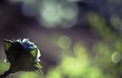 Many Species. One Planet. One Future (NJ..) Tags: blue india flower green nature canon flickr dof purple bokeh rwanda environment 1500 canon50mm18 worldenvironmentday environmentday 5june 1000d canon1000d manyspeciesoneplanetonefuture
