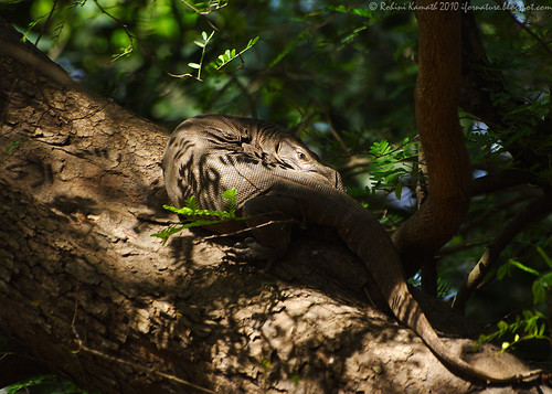 Monitor Lizard First Look