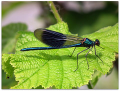 A Demoiselle beauty! (macfudge1UK) Tags: uk summer england nature thames bug river insect europe dragonfly demoiselle riverthames damselfly thamespath 2010 oxon odonata bandeddemoiselle calopteryxsplendens allrightsreserved hs10 bbcspringwatch countryfile worldbest eynshamlock buzznbugz macromarvels awesomebug naturethroughthelens fujifilmfinepixhs10 fujihs10 rspblovenature